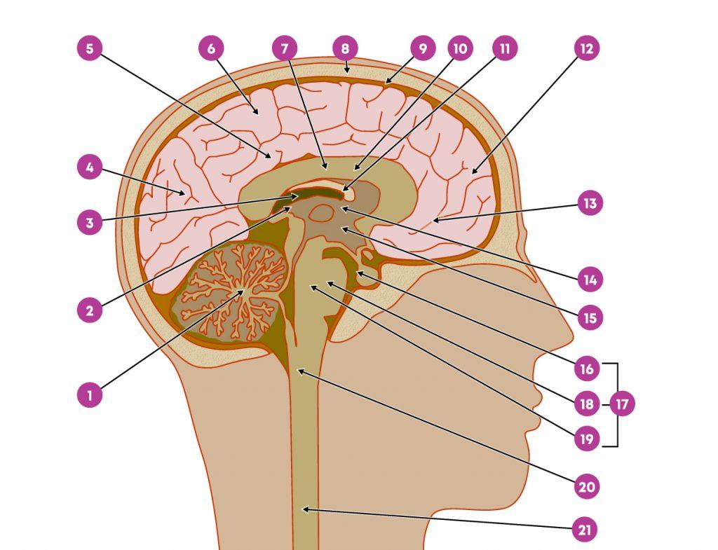 Anatomie_van_de_hersenen
