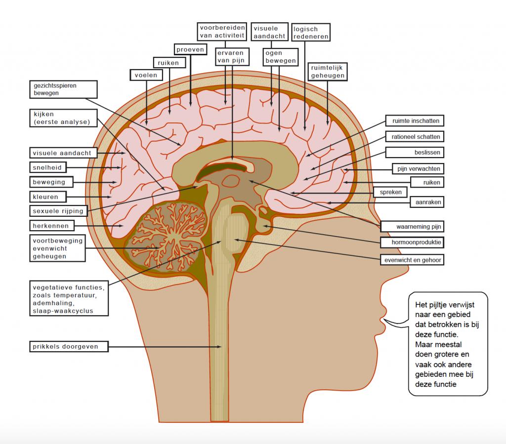 Functies_van_de_hersenen